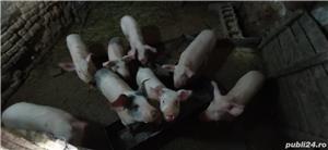 Vând porci, vârsta 4 luni - imagine 1