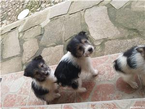 Pui fox terrier/foxterrier sarmos - imagine 7