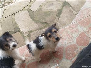 Pui fox terrier/foxterrier sarmos - imagine 8