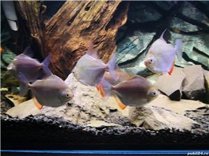 Vand acvarii de 200l si 240l,complet echipate,si cu pesti diferite specii.Se vand si separat . - imagine 7