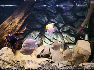 Vand acvarii de 200l si 240l,complet echipate,si cu pesti diferite specii.Se vand si separat . - imagine 10
