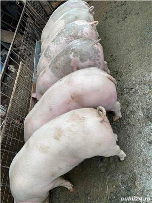Proci rasa carne  - imagine 4