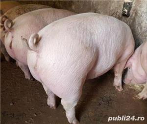 Vând   porcii - imagine 2