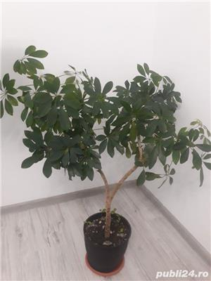 Schefflera - arborele umbrela - imagine 1