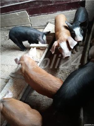 Porci - imagine 3