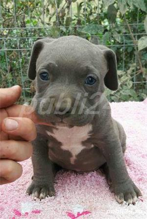 Pui American Bully de exceptie !!! Asigur transport in strainatate !!! - imagine 1