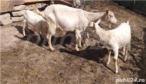 Vând capră bună de lapte cu eduți și încă o eduță de anul trecut  - imagine 1