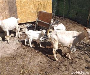 Vând capră bună de lapte cu eduți și încă o eduță de anul trecut  - imagine 3