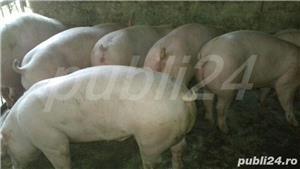 vând purcei de carne 15-40kg,70-100. - imagine 1