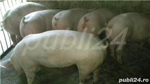 vând purcei de carne 15-40kg,70-100. - imagine 3