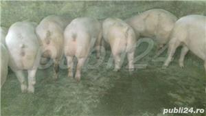 vând purcei de carne 15-40kg,70-100. - imagine 2