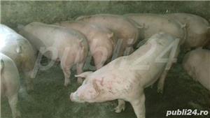 vând purcei de carne 15-40kg,70-100. - imagine 5