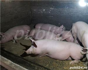 Purcei și porci mari de vanzare - imagine 1