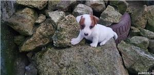 Jack Russell Terrierr - imagine 3