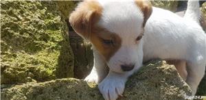 Jack Russell Terrierr - imagine 5