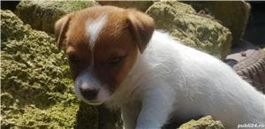 Jack Russell Terrierr - imagine 4