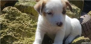 Jack Russell Terrierr - imagine 7