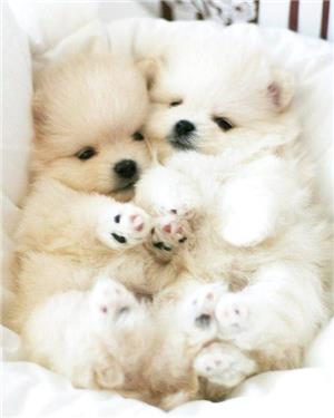 Pomeranian mini Boo. Max 1.5 kg. Pasaport si microcip - imagine 2
