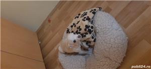 Vand chihuahua mini toy - imagine 4