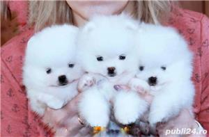 Pomeranian mini Boo. Max 1.5 kg. Pasaport si microcip - imagine 1