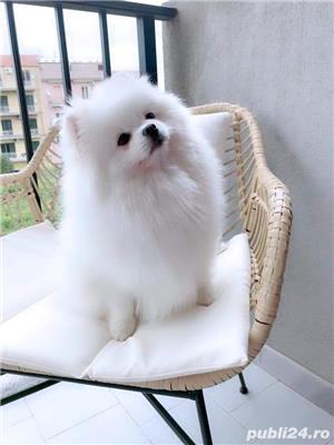 Mascul Pomeranian pentru Monta ( imperechere) . modelul Boo pentru Monta  cu Pedigree - imagine 2