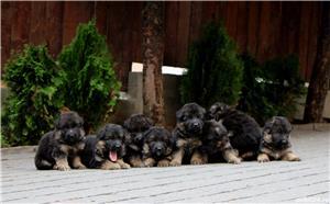 Vand pui ciobanesc german par lung-3 luni, cu pedigree, in Cluj-Napoca, din parinti TOP Germania - imagine 8