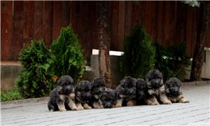 Vand pui ciobanesc german par lung-3 luni, cu pedigree, in Cluj-Napoca, din parinti TOP Germania - imagine 7