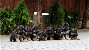 Vand pui ciobanesc german par lung-3 luni, cu pedigree, in Cluj-Napoca, din parinti TOP Germania - imagine 9