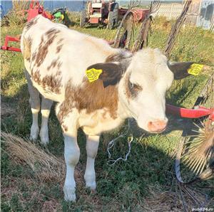 Vand vitea,rasa Baltata romaneasca,in varsta de 3,5 luni - imagine 3