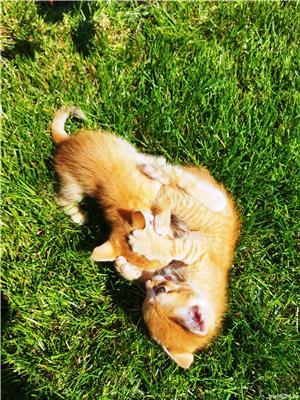 ofer gratis pui de pisica - imagine 2
