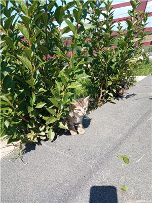 ofer gratis pui de pisica - imagine 6