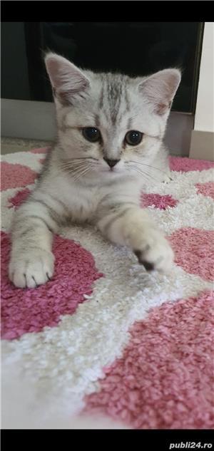 british shorthair fetiță  - imagine 8