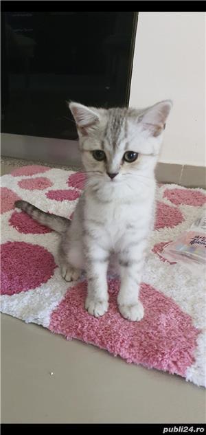 british shorthair fetiță  - imagine 1