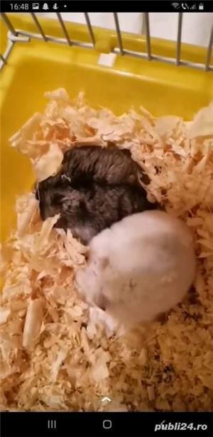 Donez hamsteri + cuști de vânzare  - imagine 1